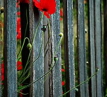 Poppies by clare scott