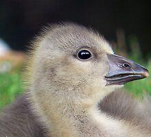 A Graylag Gosling by AARDVARK
