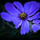 blue daisy by budrfli