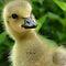 (Birds Category) - Tribe - Anserini - Geese