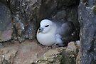 Fulmar Petrel, Shetland by Richard Ion