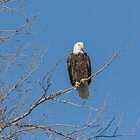 American Bald Eagle 2015-8 by Thomas Young