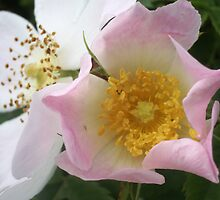 Dog rose by FelicityB