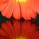 Fiery Gerbera Reflection II by Larissa Brea