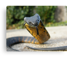 Black and Yellow Kill a Fellow  ( Tiger snake ) Canvas Print