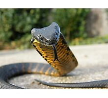 Black and Yellow Kill a Fellow  ( Tiger snake ) Photographic Print