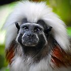Cotton-top tamarin by venny