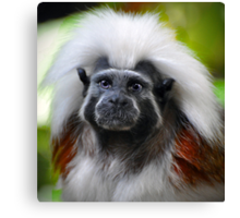 Cotton-top tamarin Canvas Print