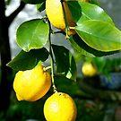 Lemons by Maggie Hegarty