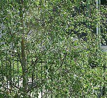 Silver birch by Maggie Hegarty