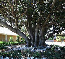 Moreton Bay Fig, (ficus macrophylla) by Maggie Hegarty