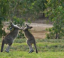 Boxing Match at Yan Yean by Pauline Tims
