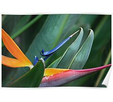 Bird of Paradise flower or B.O.P Poster