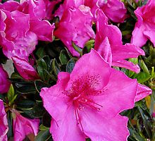 Azalea Pinks by Joy Engelman