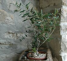 Olive tree by Laurens