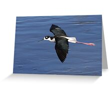 Black-necked Stilt In Flight Greeting Card