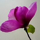 Magnolia 'Burgundy Glow' by Magee