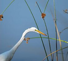 Egretta by artsphotoshop