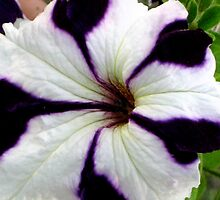 Striped Petunia by Marita McVeigh