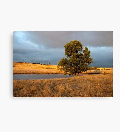 Tree in golden light Canvas Print