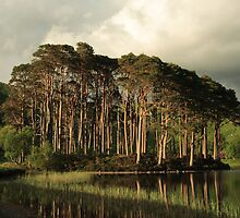Scots Pines in the evening light. by John Cameron