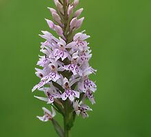Common Spotted Orchid by godders