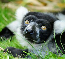 Black and White Ruffed Lemur by Ian Tilly