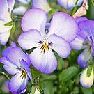 """""""Pretty Pansies"""" by Lynn Bawden"""