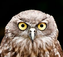 Barking Owl by AKunde