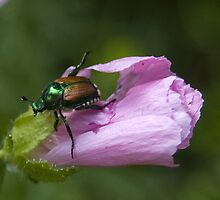 The Scourge - Japanese Beetle by Sarah McKoy