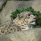 Snow Leopard at peace by dmwarnman