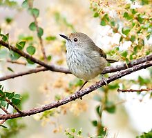 Thornbill 2 by AKunde
