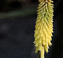 Red Hot Poker by Laurel  Coleman