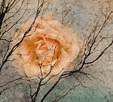Winter Rose by jolanta