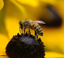 Bee on flower by franceslewis
