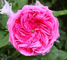Gertrude Jekyll v by Richard Elston