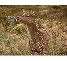 Red Deer Hind in Glencoe. Photographic Print