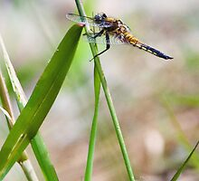 Four Spotted Skimmer by David Friederich