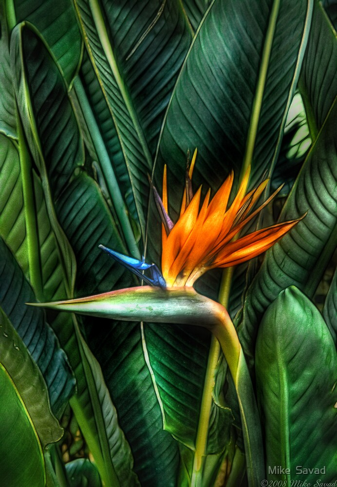 Bird of Paradise by Mike  Savad