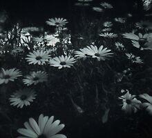 Pinhole Daisy by ShovellingSon