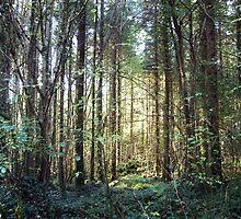 Coole Park forest sunshine by John Quinn