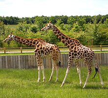 Giraffes make a pretty picture....... by jdmphotography