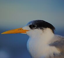 Tern (profile) by David  Hall
