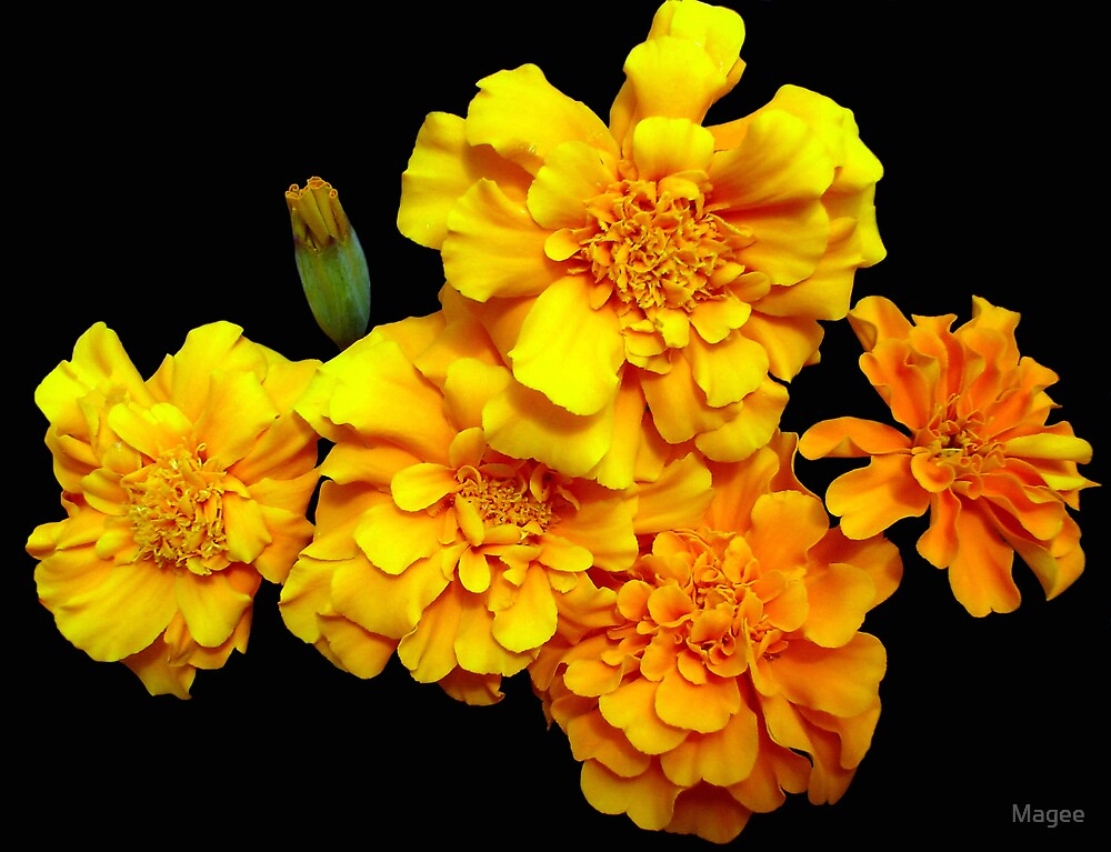 Marigolds by Magee