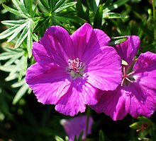 Bloody Cranesbill by jacqi