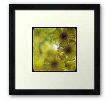 Golden Wattle  Framed Print