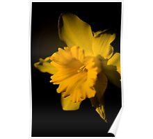 Daffodil 4 Poster