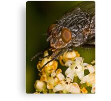 Fly eating nectar Canvas Print