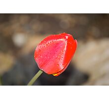 Front Yard Tulip Photographic Print