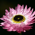 Native Paper Daisy by Erland Howden